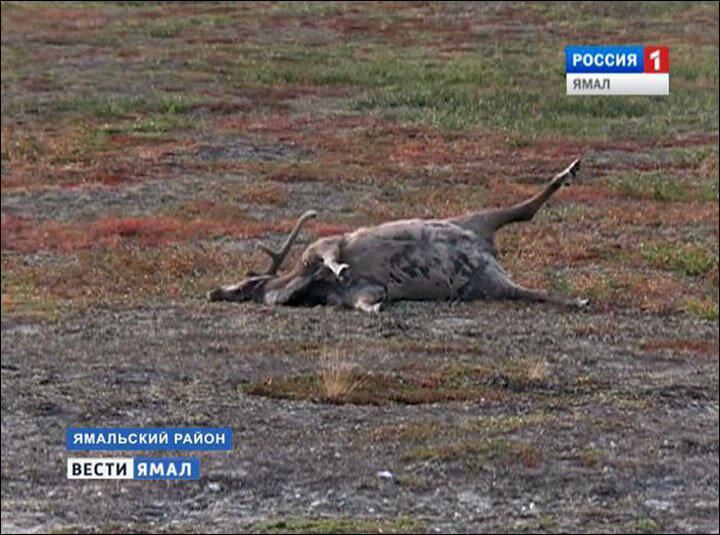 Un renne tué, dans le grand nord russe, par le bacille de la maladie du charbon.