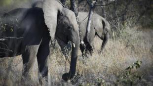 Des éléphants du parc national d'Etosha, aire protégée de Namibie située dans la région de Kunene, à 400 km au nord de la capitale Windhoek.