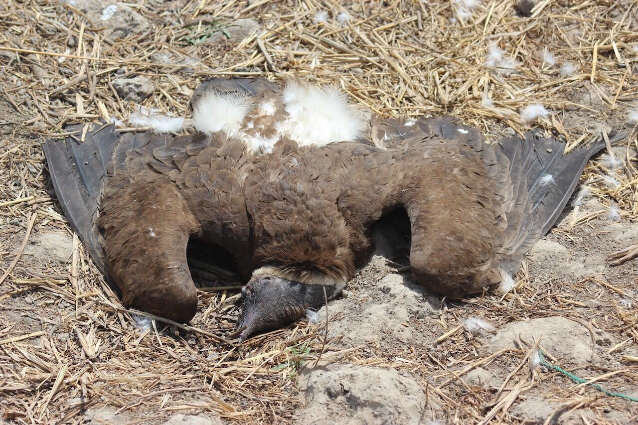 Dead-hooded-vulture-@Mohamed-Henriques
