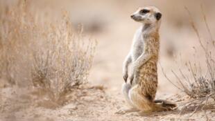 Parfois surnommées les « sentinelles du désert », les suricates vivent en nombre dans la réserve naturelle près de la rivière Kuruman à la frontière du Botswana.