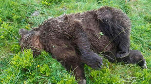French officials are trying to determine who shot dead a brown bear in the Pyrenees mountains, seen here in an image published on the Twitter account of Elisabeth Borne, French Minister for the Ecological and Inclusive Transition, 9 June 2020.