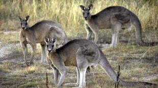 Des kangourous photographiés en 2008 près de Canberra, en Australie.