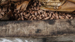 Cocoa farming is the main source of income in rural Nimba County in the north east of Liberia.