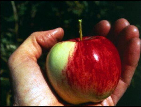 Плод яблони Сиверса