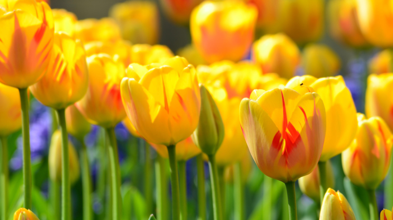 Tulipes-lille