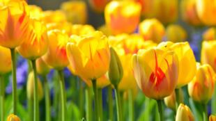 Photo de tulipes prise à Lille en France. (Image d'illustration)