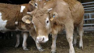 Des vaches dans une ferme de la province de Burgos, au nord de l'Espagne.