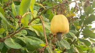 L'anacardier, l'arbre de noix de cajou