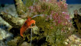 La crevette, l'une des principales sources de revenus à l'exportation pour Madagascar.