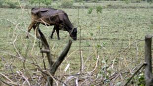 A cause de la sécheresse, l'herbe se fait rare et le bétail peine à se nourrir.