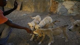 A Palestinian volunteer feeds stray dogs at a dog shelter in the Gaza Strip.