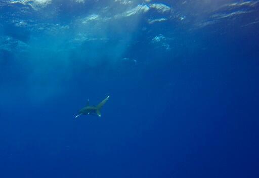 Какую именно акулу заметили около берега, неизвестно (архивное фото)
