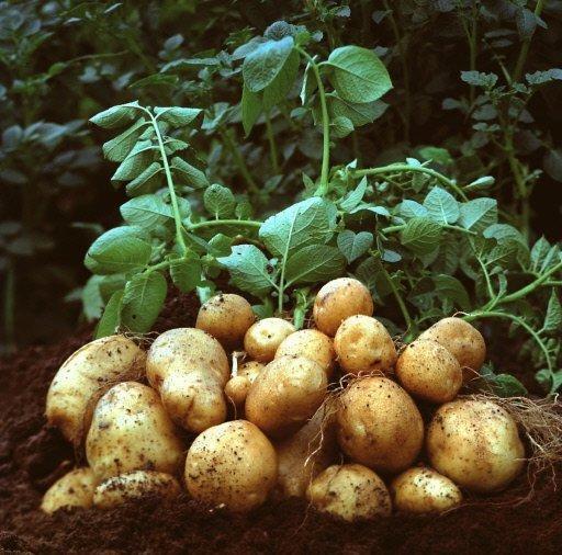 Французы уже много лет подряд называют картофель самым любимым продуктом
