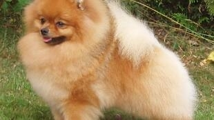 Pomoranian, type of dog that contracted the coronavirus in Hong Kong
