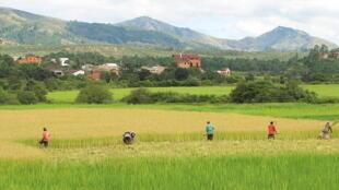 Récolte du riz à Madagascar (image d'illustration).