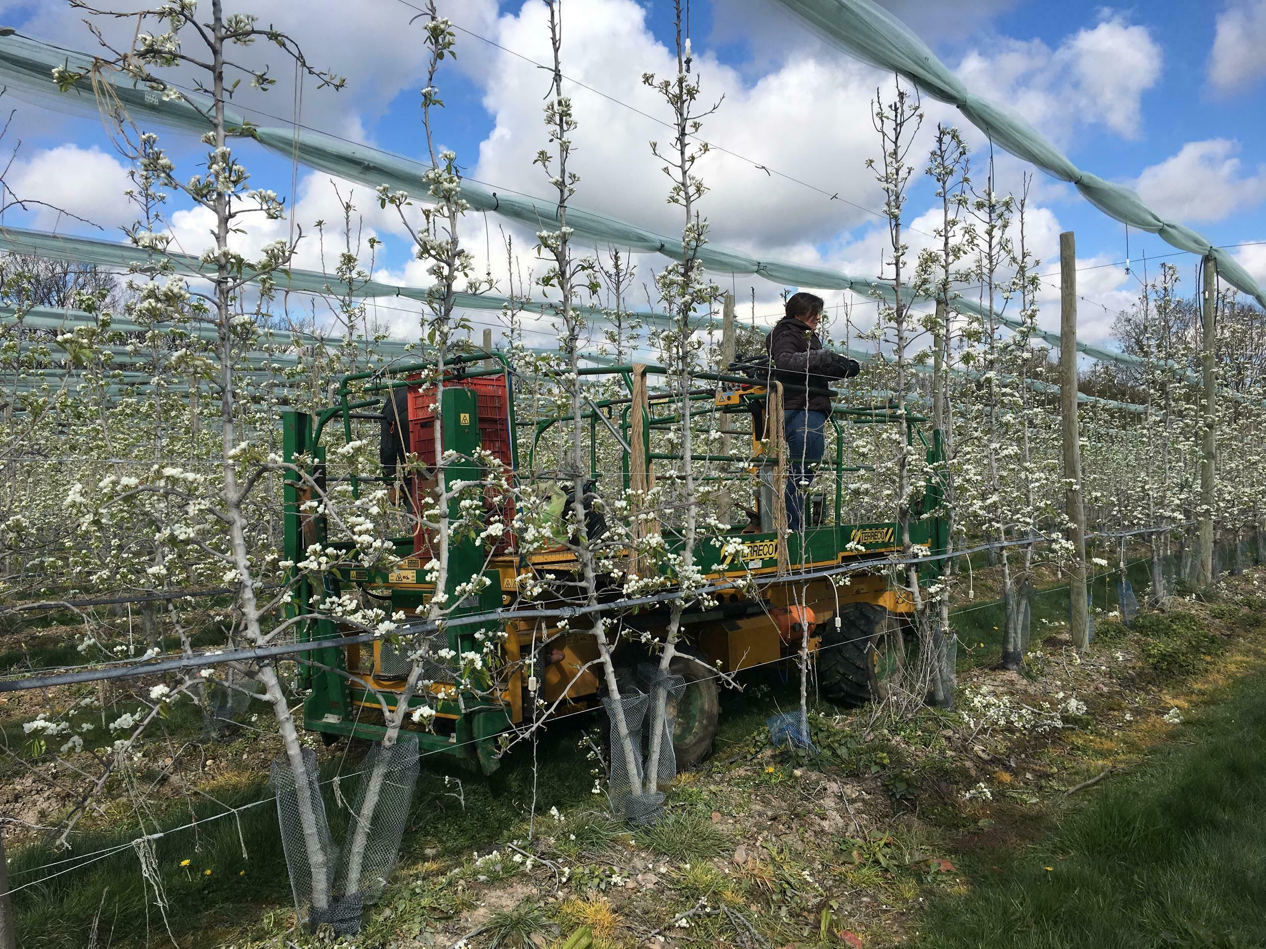 Workers at La Morinière tie up the apple trees to keep them straight