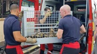 Las serpientes fueron llevadas por el equipo especial de los bomberos de París.