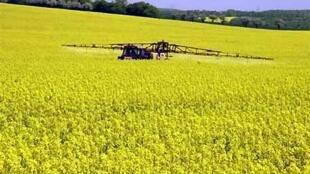 Epandage de pesticides dans un champ de colza.