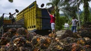 """A Indonésia é o primeiro produtor mundial de óleo de palma considera a política da União Europeia sobre o produto """"discriminatória""""."""
