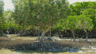 Menacée, la mangrove au sud de Tuléar. Ici, les palétuviers avec leurs racines pneumatophores et en échasses.