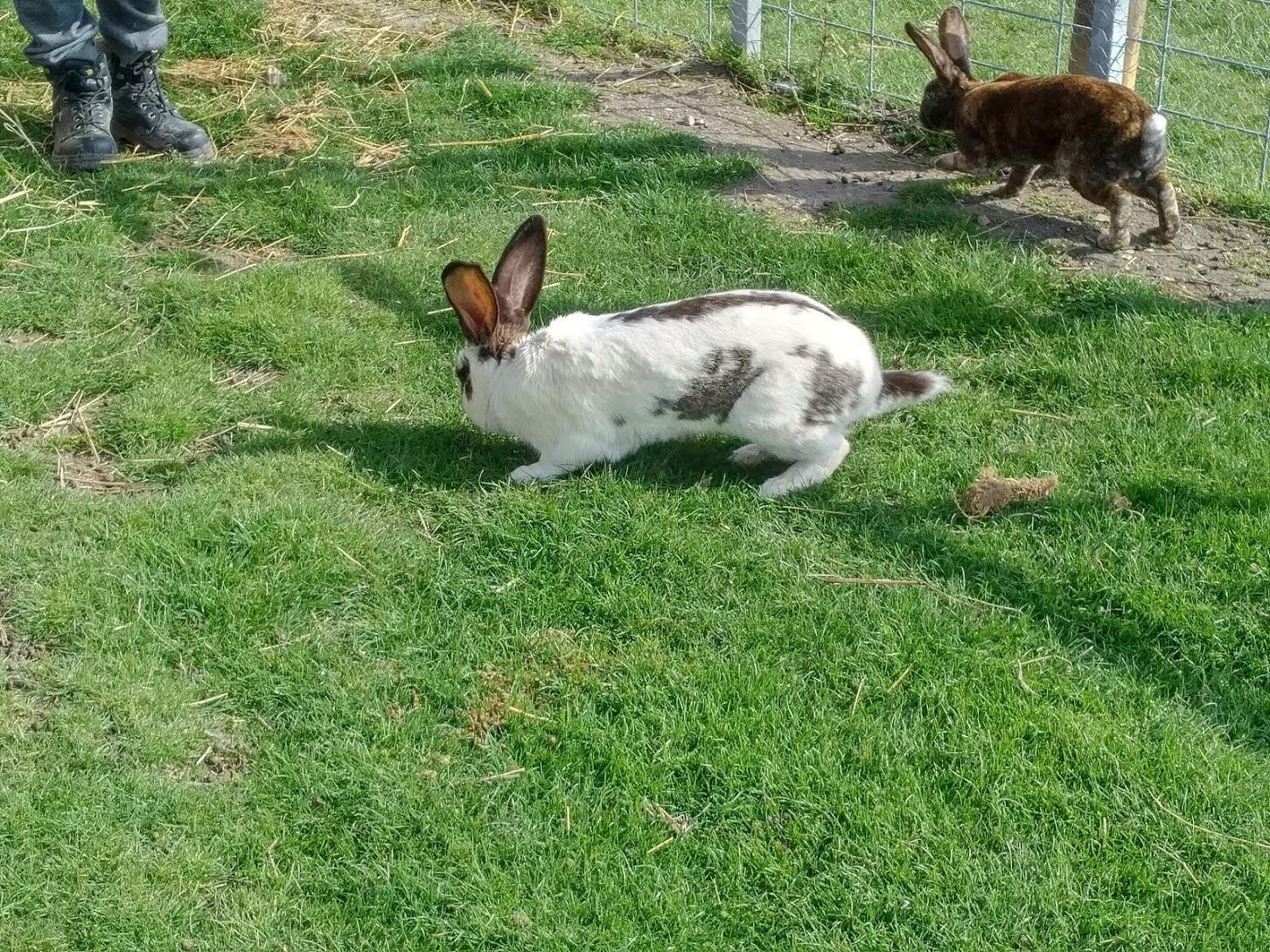 La granja posee varios conejos tamaño King Kong, que el perro Olaf observa con gula.