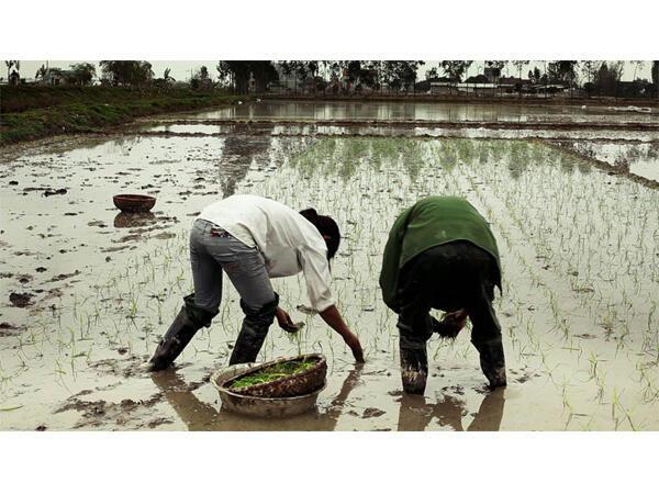 Comme au pays, les Cong Binh ont dessiné les rizières de Camargue.