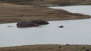 Dans le parc Kruger (photo), environ 350 hippopotames vont être abattus pour cause de sécheresse.