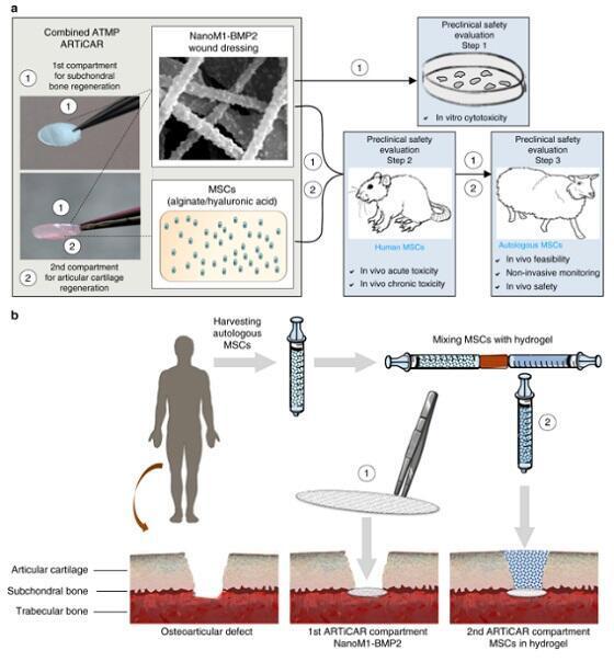 Ilustración del vendaje compuesto de un nanomaterial y un gel con células madre y proteínas.