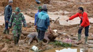 Les équipes de secours évacuent une vache qui a péri dans le glissement de terrain, à Jemblung, le 13 décembre 2014.