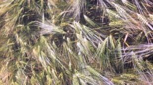 Le blé réserve encore bien des surprises.