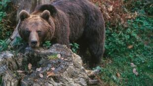 As autoridades francesas calculam que cerca de 50 ursos vivem atualmente nas montanhas do sudoeste da França.