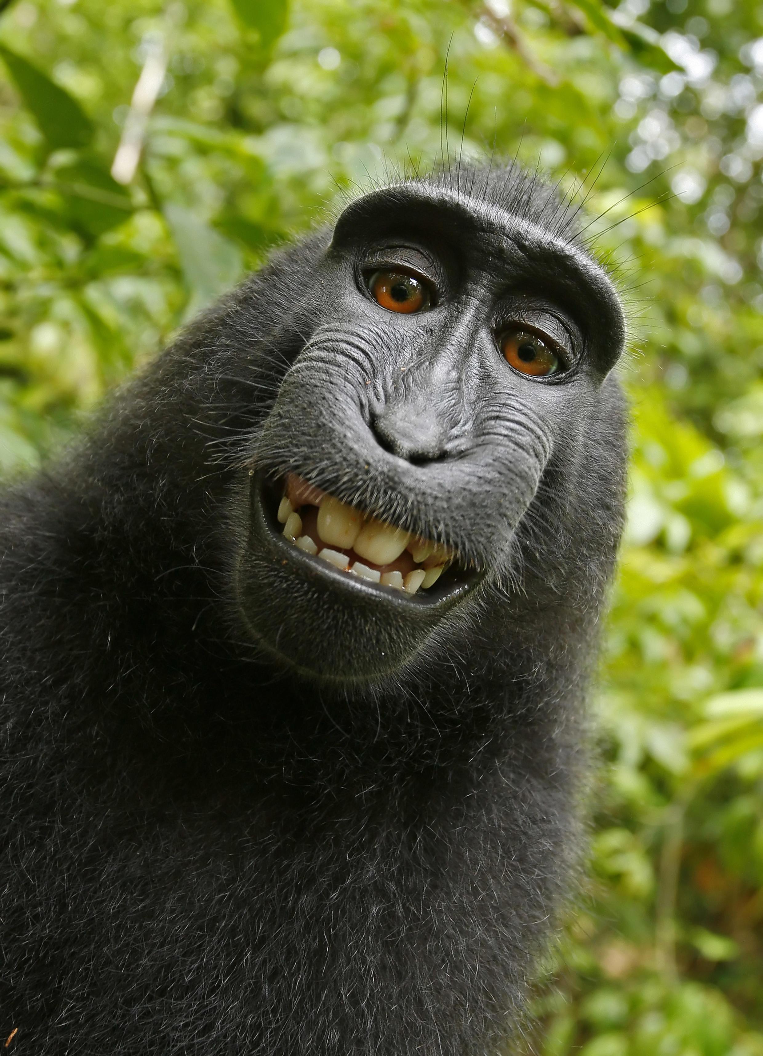 Auto-portrait d'un macaque à crête noire femelle, réalisé avec l'appareil du photographe britannique David Slater, dans le nord de l'île de Sulawesi.