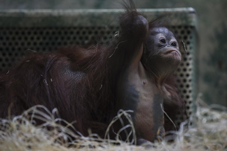 Chez les primates, un certain ennui s'est installé chez les orang-outans, il faut les occuper. Java, le bébé orang-outan né en 2019 à la ménagerie du Jardin des plantes. (Image d'illlustration)