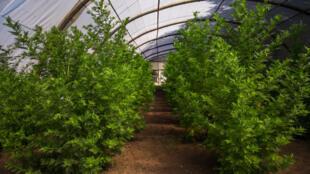 Artemisia plants growing in a greenhouse near the village of Faharetana, near Antananarivo on 19 May 2020.