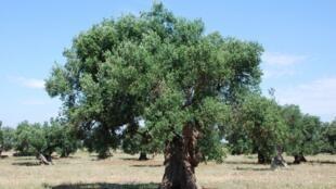 Un olivier centenaire.