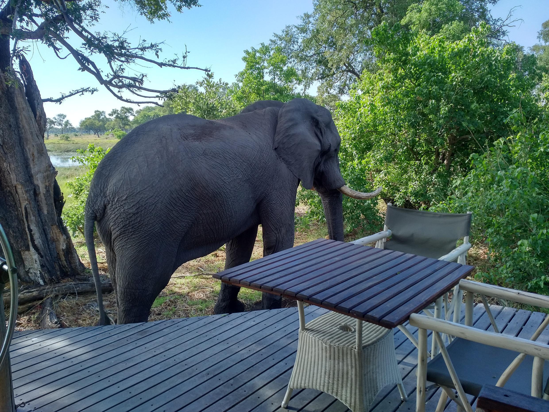"""Un elefante en el campamento Xaranna, """"como Pedro por su casa""""."""