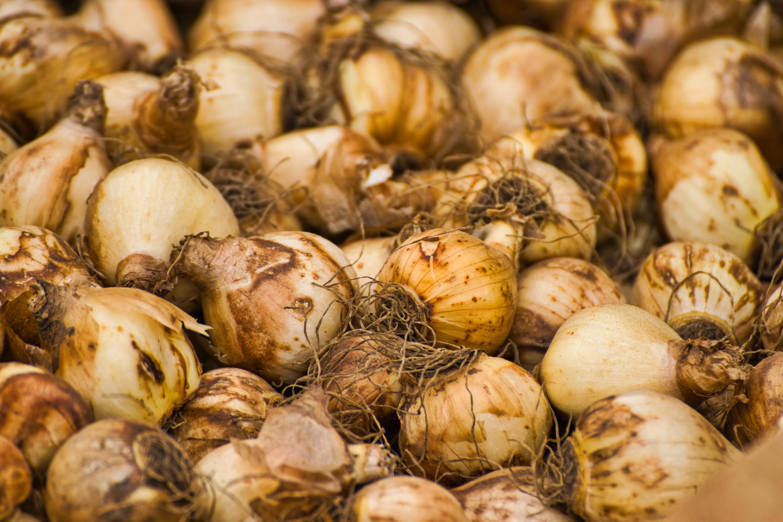 tulip-bulbs-4460401