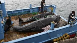 存档图片:捕鲸活动受国际公约管制