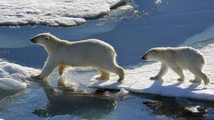 Polar bears in Murmansk region, Russia