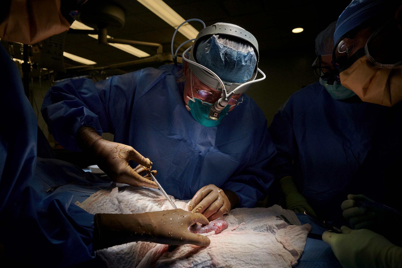 Transplante de rim de porco