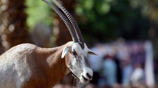 L'oryx avait disparu du Sénégal, avant d'être réintroduit à partir d'Israël en 1999 (image d'illustration)