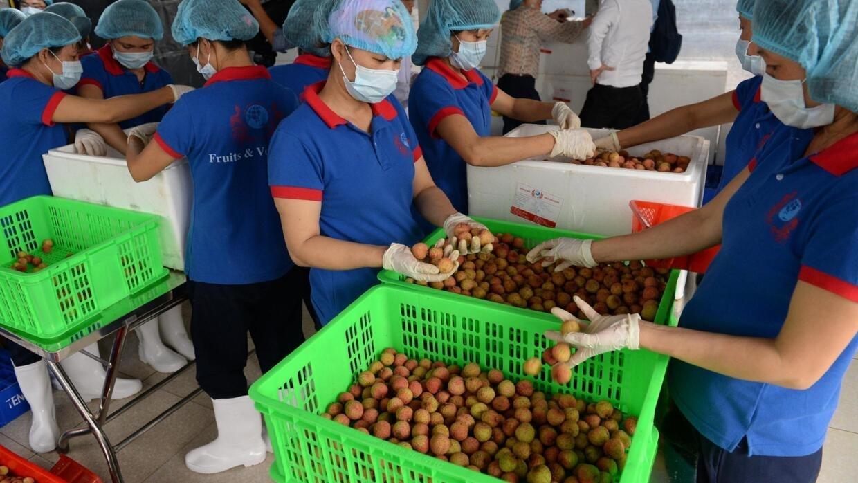 Ảnh minh họa: Công nhân phân loại và đóng gói trái vải để xuất khẩu tại một cơ sở ở phía bắc thành phố Hải Dương, miền Bắc Việt Nam. i Duong province.