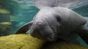Un manatí en la piscina de recuperación del Centro de Cuidados Intensivos del Zoológico de Tampa en Lowry Park