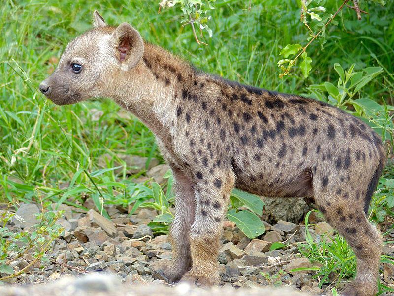 Image d'archive RFI - L'hyène
