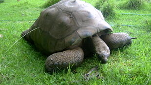 À Saint-Hélène, Jonathan, la tortue serait âgée de 185 ans. Elle serait ainsi l'animal terrestre le plus vieux du monde.