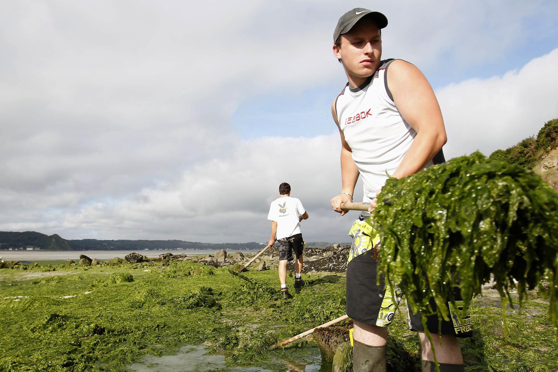 En Bretagne, à Saint Michel-en-Greve, des employés municipaux ramassent les algues vertes qui envahissent les plages, dûes à la pollution des nappes phréatiques aux nitrates.