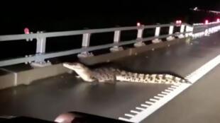 Crocodilos foram vistos durante as inundações