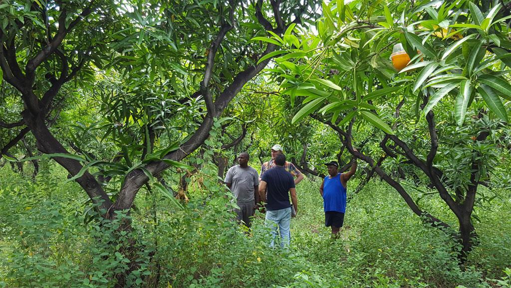 Eric Phileas a laissé « faire la nature » pour combattre les cochenilles qui ont ravagé ses manguiers.