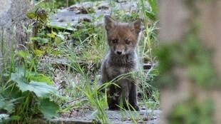 2020-05-31 france paris pere lachaise fox pup lockdown coronavirus