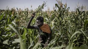 Esta imagen publicada por la FAO (Organización de las Naciones Unidas para la Agricultura y la Alimentación) muestra a un agricultor de Turkana tratando de ahuyentar a las bandas de langostas del desierto que dañan sus cultivos de maíz en Kalemngorok, condado de Turkana (Kenya), el 3 de junio de 2020.